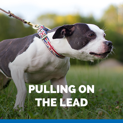pulling on the lead dog training
