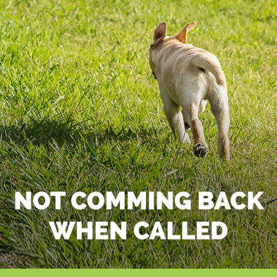 recall dog not coming back when called